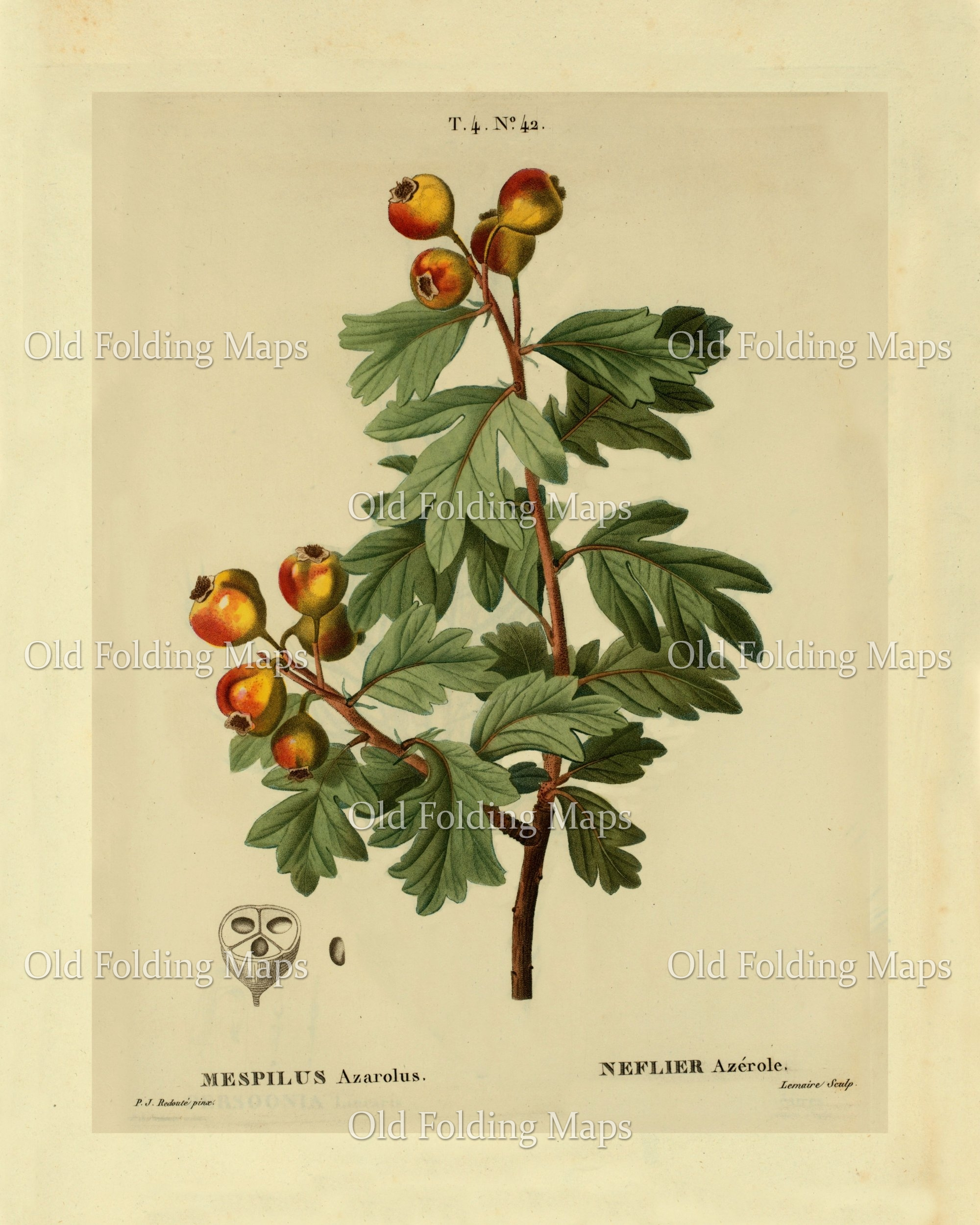 Antique Illustration of Plants & Trees - Medlar circa 1800