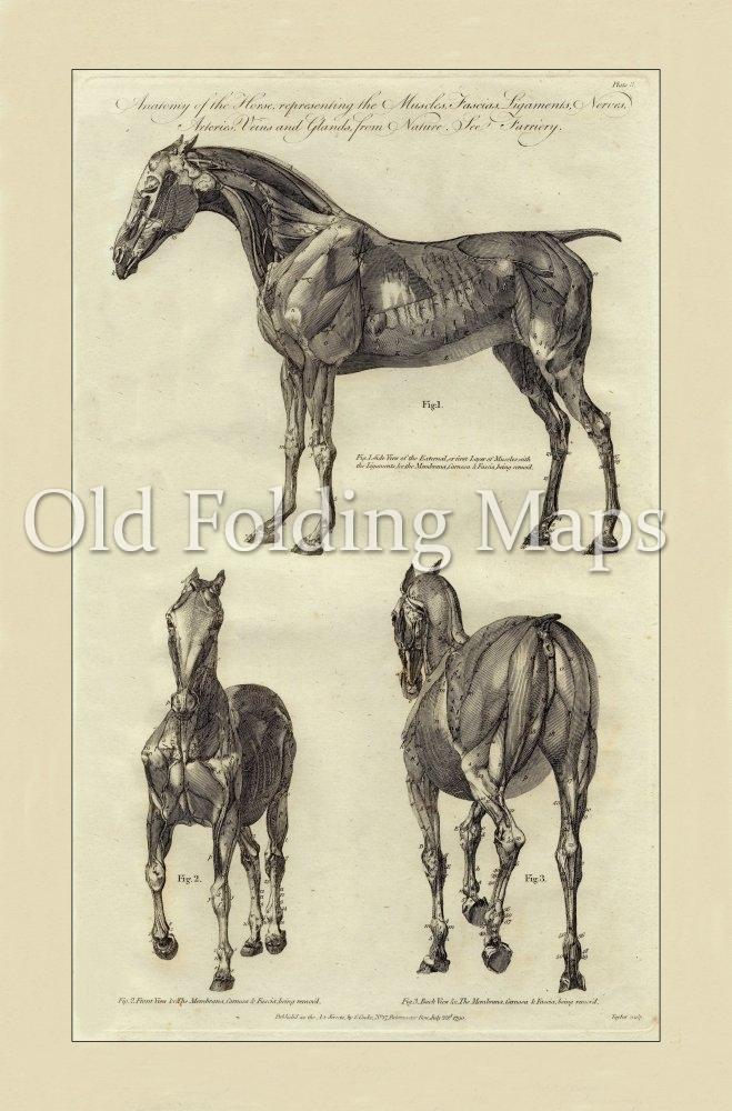 Antique Illustration Of Animals Anatomy Of A Horse Iii Circa 1790