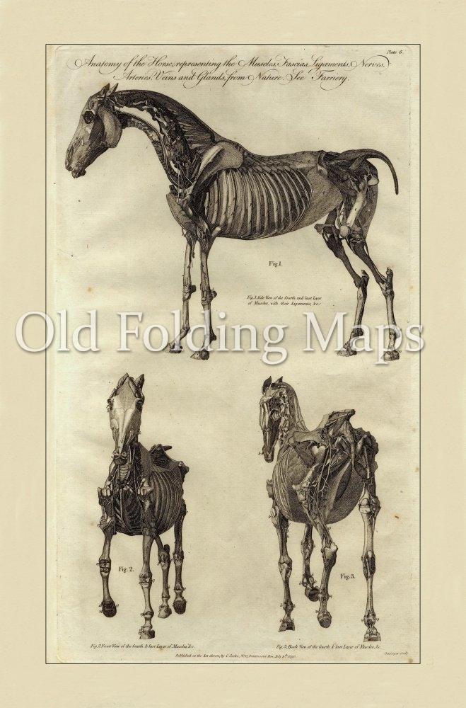 Antique Illustration Of Animals Anatomy Of A Horse V Circa 1790